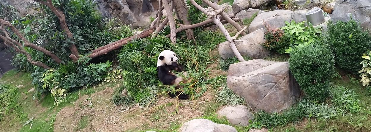 Bild eines Panda im Ocean Park