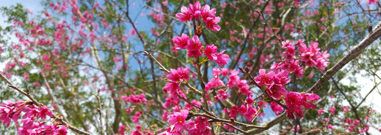 Bild der taiwanesischen Kirschblüte