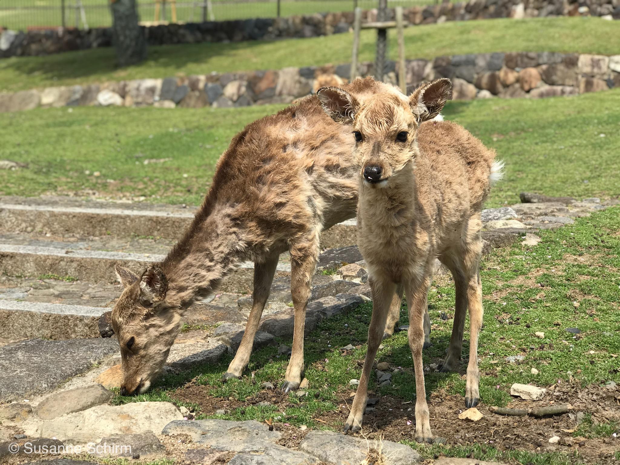 Bild von Sikahirschen im Nara-Park
