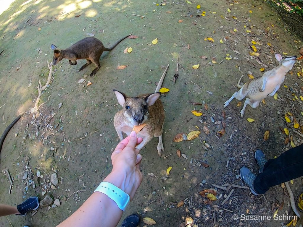 Wallabys essen gern Süßkartoffel