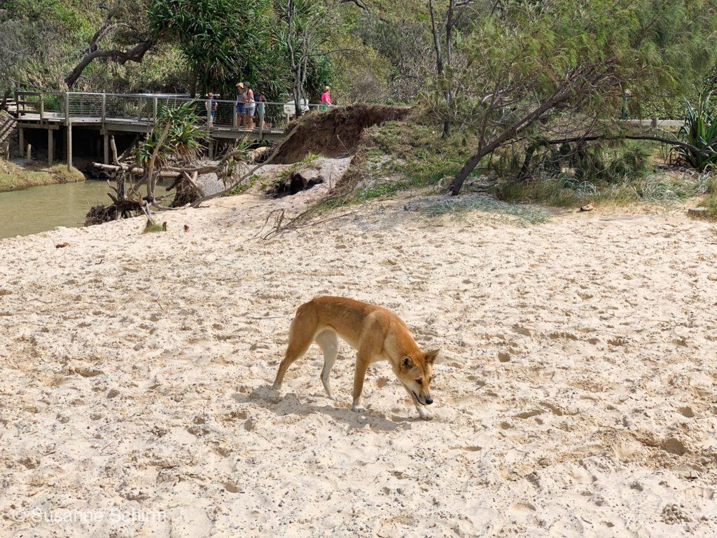 Dingo am Eli Creek